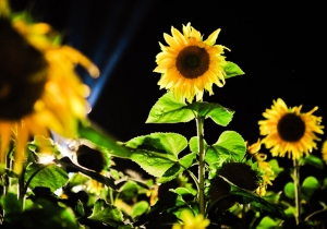 Kategorie: sunflower 2011